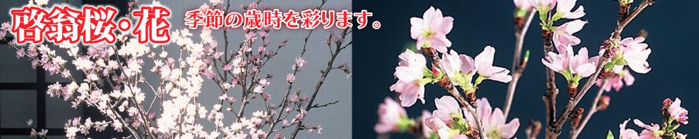 啓翁桜・新春